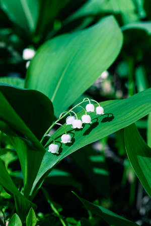 Beautiful lily of the valley (convallaria majalis) flower growing in wild forest in Amata, Latvia. Closeup with shallow depth of field. Flower macro photo. Stock fotó