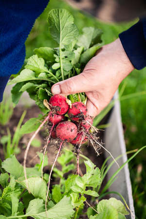 Bunch of fresh radishes in mens hand with shallow depth of field. Vegetable harvesting on a farm in Russia. Country lifestyle potography.