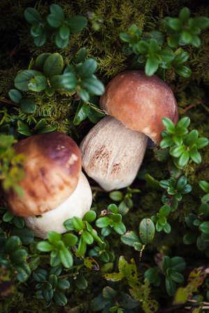 Wilder roher Steinpilz im lettischen Wald