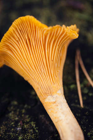 Wild chanterelle top view macro