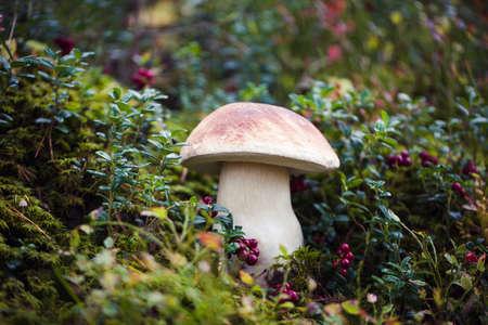 Wild raw boletus mushroom in