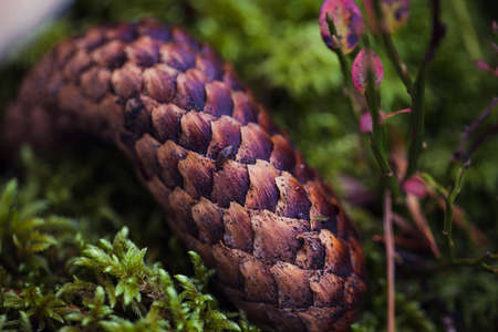 Close up of pine cone lying on green moss. Seasonal photo in the forest.