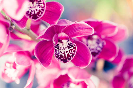 Beautiful Orchid flower in greenhouse for postcard. Macro shot for backfrop or design. Phalaenopsis orchid.