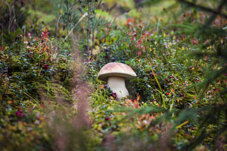 Wild boletus mushroom growing in moss in forest in Latvia. Mushroom hunting seson. Autumn macro shot of white mushroom. Archivio Fotografico - 135013842