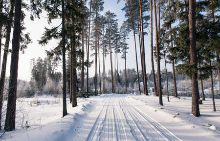 Winter scene outdoors - beautiful forest covered with snow in Latvia. Big pine trees on the background.