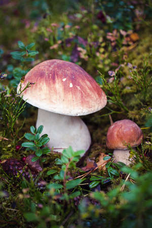 Wild raw boletus mushroom in Archivio Fotografico - 136101308