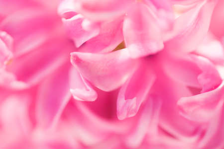 Macro shot of pink hyacinth blooming in the pot. Abstract flower photo with shallow depth of field.