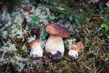 Autumn macro shot of white mushroom. Wild boletus mushroom growing in moss in forest in Latvia. Mushroom hunting seson.