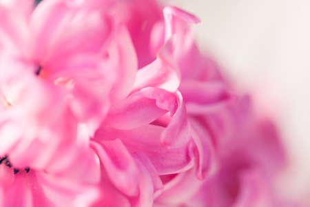 Pink Hyacinthus flower closeup with shallow depth of field. Stock fotó