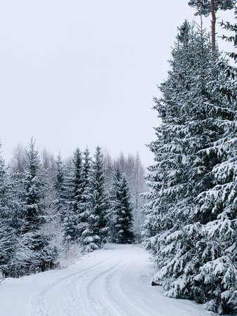 Frosty morning during winter. Winter scene - pine trees covered with snow. White background with winter landscape..