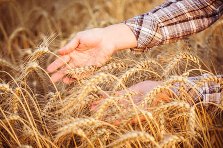 unrecognizable person: Womens hands in the ripe ears of wheat. Close-up. Horizontal. Unrecognizable person
