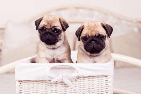 carlin: Little beige pug puppies sitting in the wicker basket Stock Photo