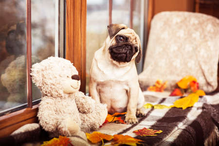 Cute little pug sits on autumn windowsill and looking at the camera askance