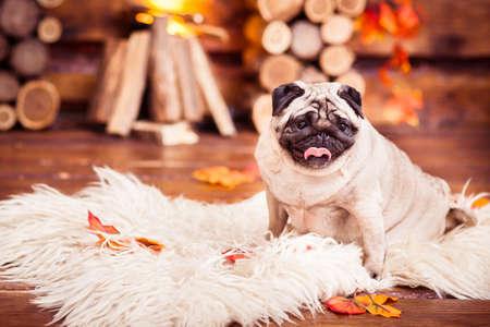 furs: Pensive sad beige pug sitting on furs