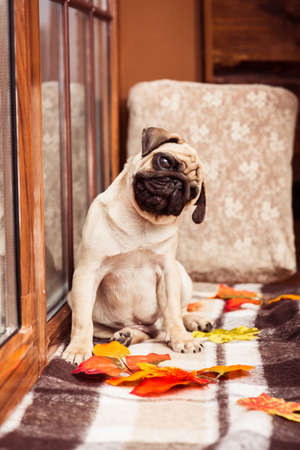 Funny beige puppy pug looking at the camera bowed its head