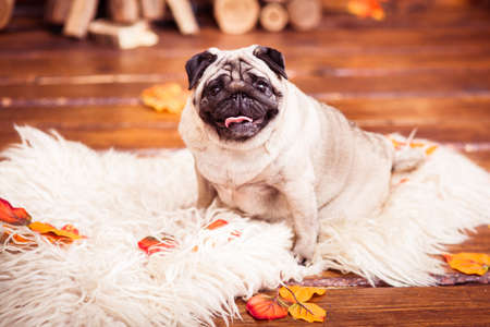 furs: Wrinkled fat pug with sticking out tongue looking forward.