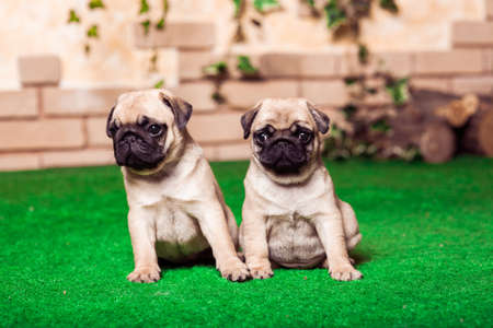 Little beige pug puppies sitting on the green grass against the background of bricken wall. Selected focus Stock Photo