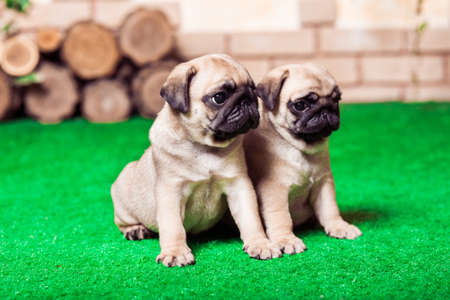 carlin: Little beige pug puppies sitting on the green grass against the background of bricken wall