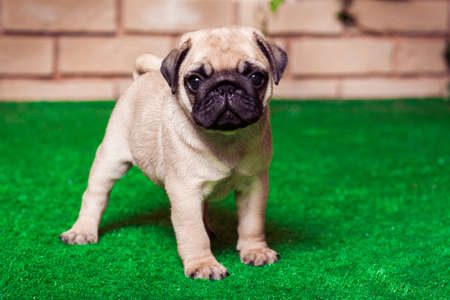 Little beige pug puppy standing on the green grass against the background of bricken wall