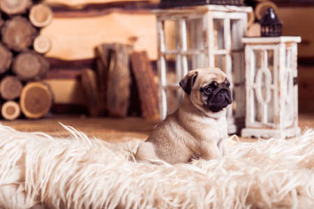 carlin: Little beige pug puppy laying on the furs against the background of lanterns