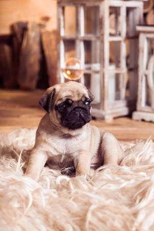 carlin: Little beige pug puppy laying on the furs against the background of lanterns and soap bubble Stock Photo