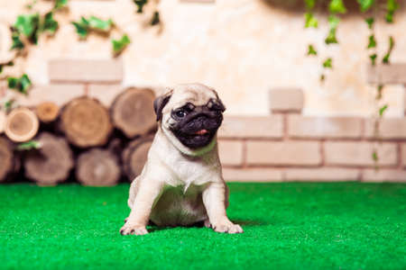 carlin: Little beige pug puppy sitting on the green grass against the background of bricken wall