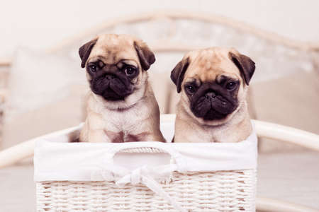 carlin: Little beige pug puppies sitting in the wicker basket Stock Photo
