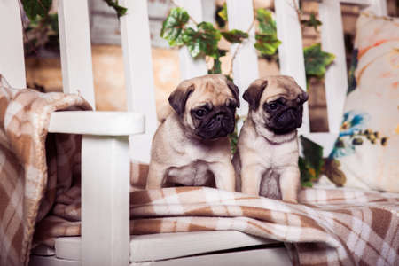 carlin: Little beige pug puppies sitting on the bench, entwined with ivy.