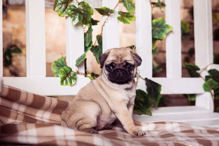 carlin: Little beige pug puppy sitting on the bench, entwined with ivy.