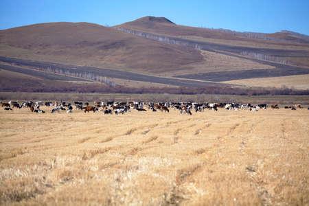 inner mongolia: Inner Mongolia grassland in autumn