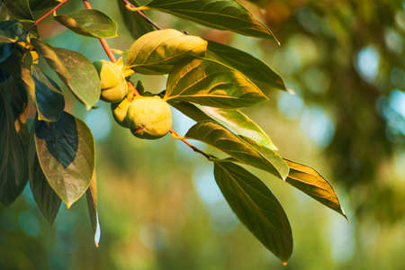 persimmon tree: The persimmon tree