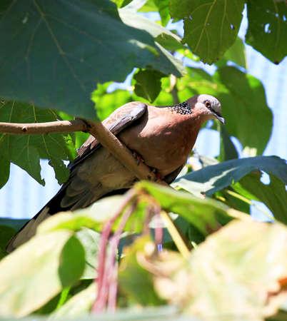 turtle dove: Turtle Dove Stock Photo