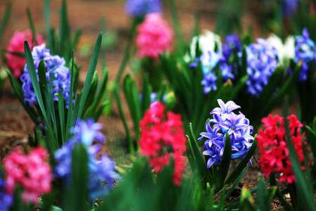 Hyacinth Reklamní fotografie