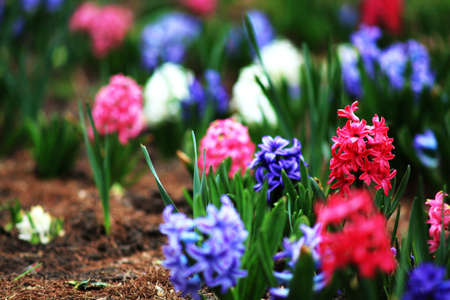 hyacinth: Hyacinth white purple pink