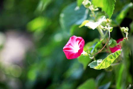 핑크 색상 나팔꽃