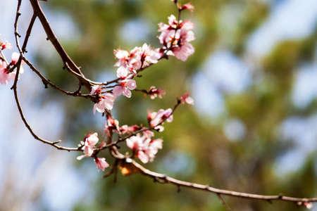 prunus: Prunus armeniaca Stock Photo