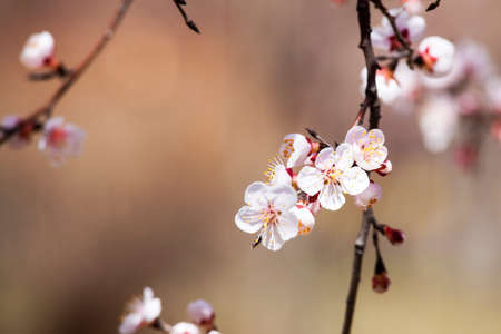prunus: Prunus armeniaca Stock Photo