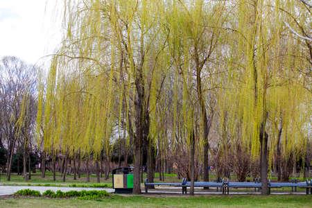 sauce: árboles de sauce en parque Foto de archivo
