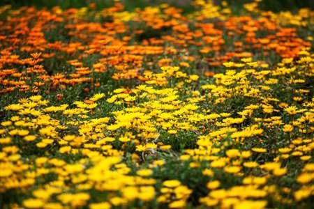 african marigold: african marigold