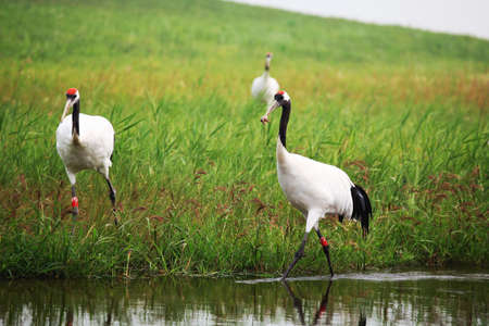 foraging: Two red crowned cranes foraging