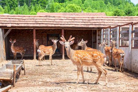 sika deer: Sika deer farms