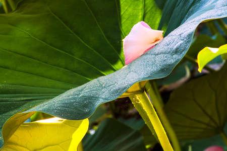 Lotus petals Stock fotó