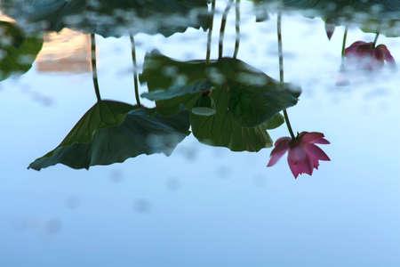 Lotus reflection
