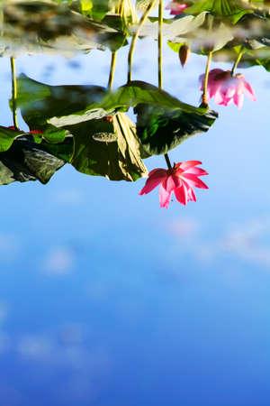 연꽃 반사
