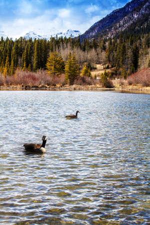 Swan at the Lake Imagens - 84350370