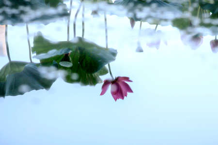 lotus flower in reflection