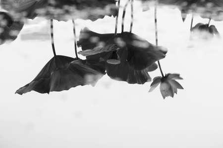 Lotus flower reflection water Stockfoto