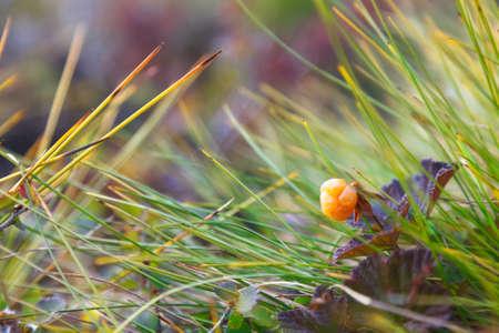 chicouté: Ripe berry chicouté est en croissance dans la toundra Banque d'images