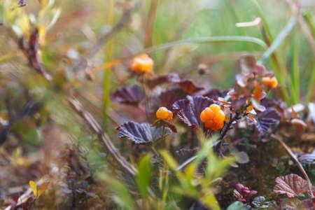 rubus chamaemorus: Mora de los pantanos Baya madura est� creciendo en la tundra Foto de archivo