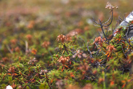 thickets: The wild rosemary, thickets in tundra, Chukotka